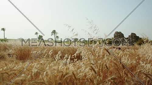 Long shot for barley fields while farmers working at day.