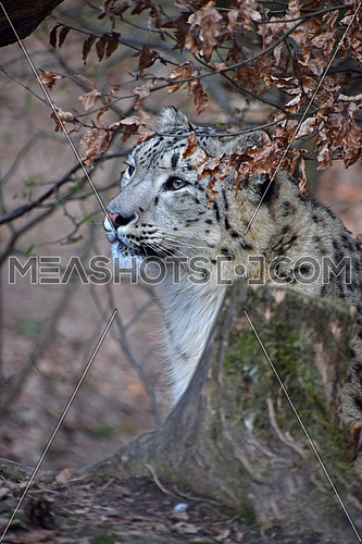 Close up side profile portrait of snow leopard (or ounce, Panthera uncia) young female in ambush, looking away from camera, low angle view