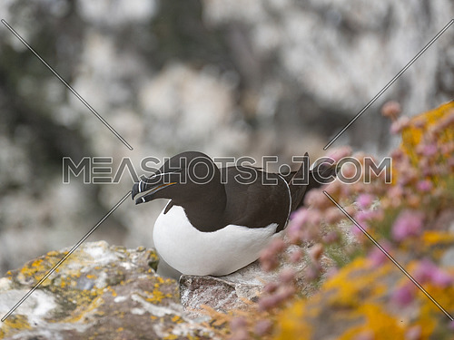 Razorbill (Alca torda) nesting on coastal cliff Scotland