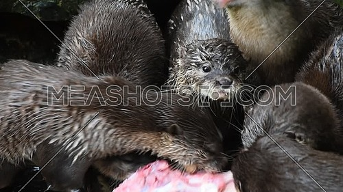 Close up of several small hungry river otters eating chicken meat in zoo enclosure, high angle view
