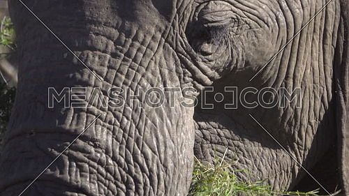 Close view of a male elephant chewing grass