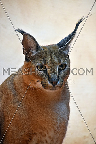 Close up portrait of one caracal, small African wild cat known for black tufted long ears, looking at camera, low angle view