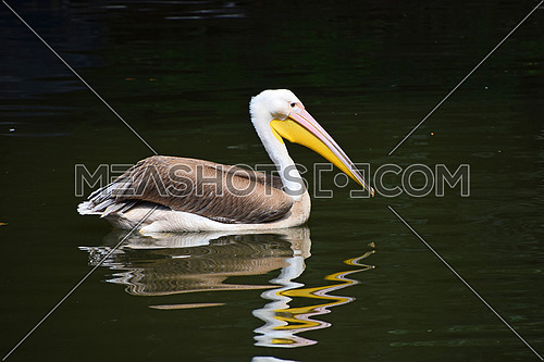 Close up one beautiful grey and white pelican in water with reflection and ripples, low angle view