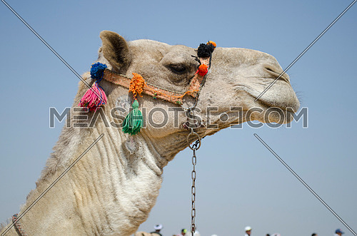 a camel head in close up