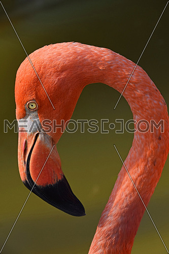 Close up side profile portrait of pink orange flamingo, head with beak, over green background of water, low angle view
