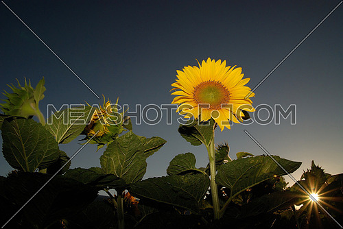 sunflower at sunny day   (NIKON D80; 6.7.2007; 1/200 at f/11; ISO 400; white balance: Auto; focal length: 18 mm)
