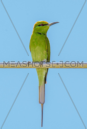 Little Green Bee Eater on Wire