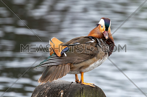 Close up male mandarin duck (Aix galericulata) on the water