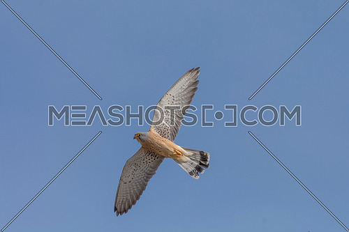 Awesome bird of prey Lesser kestrel (Falco naumanni)  in flight with the sky of background