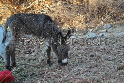 Baby young dark donkey grazing on hay