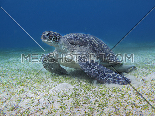 Green turtle in a clear sea with white sandy bottom shot at Marsa Alam, Egypt