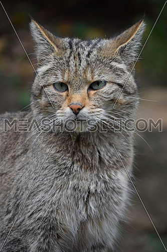 European wildcat portrait close up
