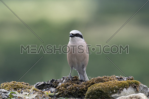 Red-backed shrike in nature.Specie Lanius collurio family of Laniidae