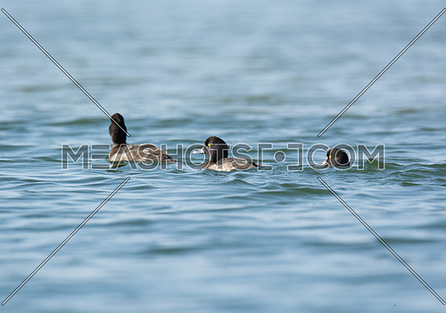 Tufted Duck swimming in a lake