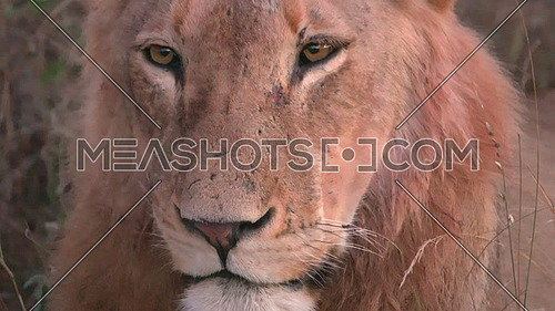 View of evening light falling on a sleepy lion