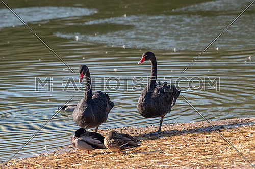 Two black swans (Cygnus atratus) resting near the pond