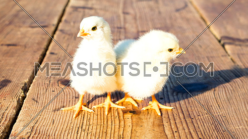 Chicks standing on a wooden surface beside each other