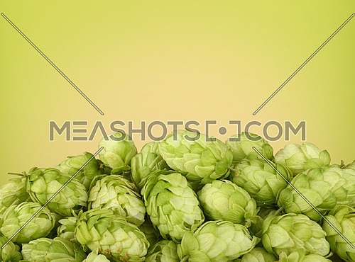 Close up heap of fresh green hops, ingredient for beer or herbal medicine, over green and beige background with copy space, low angle side view