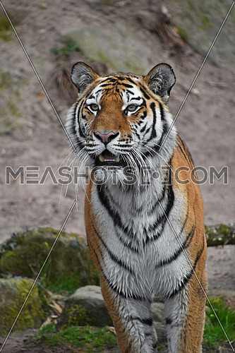Close up portrait of young Siberian tiger (Amur tiger, Panthera tigris altaica), mouth open, looking at camera