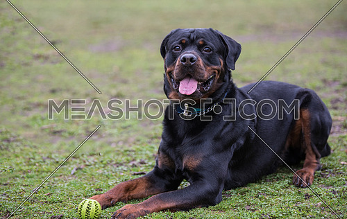 Rottweiler black relaxes in the park