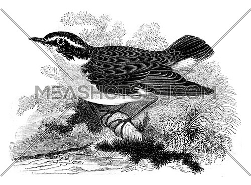Whinchat, motacilla rubetra, vintage engraved illustration. Magasin Pittoresque 1852.