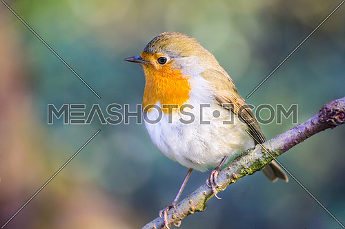 The European robin (Erithacus rubecula) on a tree branch in garden