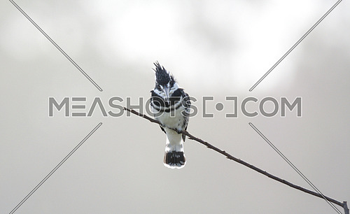 Pied King Fisher Bird