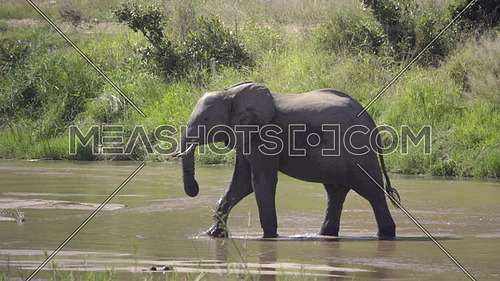 View of a bull elephant walking across a river