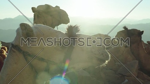 Close up- shot for camel setting in Camels rest area in Sinai Mountain at day.