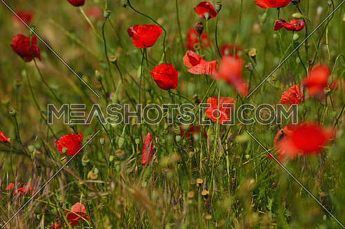 Field of Corn Poppy Flowers field background  Papaver rhoeas in Spring