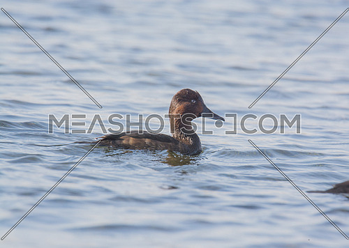 ferruginous Duck in the water