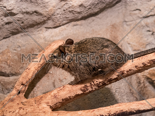 Degu, also known as a bushy tail rat. It is a native of Chile. Untamed degus, as with most small animals, can be prone to biting, but their intelligence makes them easy to tame.