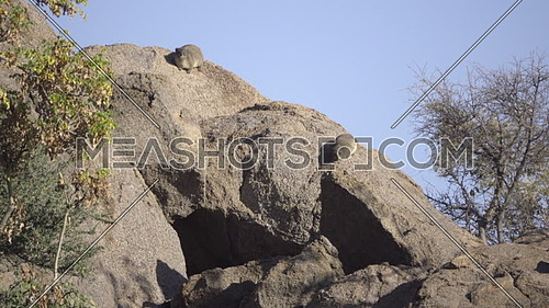 Scene of two rock dassie resting on a boulder