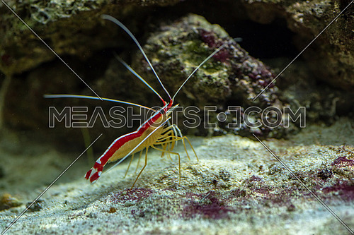 Indo-Pacific white banded cleaner shrimp (Lysmata amboinensis) on a background of stones.