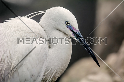 Little Egret bird portrait