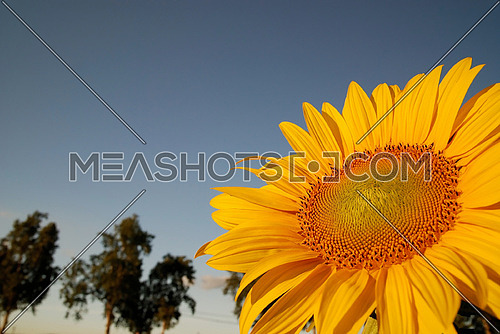 sunflower at sunny day   (NIKON D80; 6.7.2007; 1/100 at f/8; ISO 400; white balance: Auto; focal length: 18 mm)