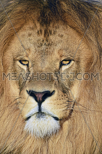 Extreme close up portrait of mature male African lion with beautiful mane, looking at camera