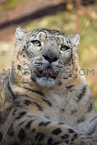 Close up portrait of male snow leopard (or ounce, Panthera uncia) looking at camera, low angle view
