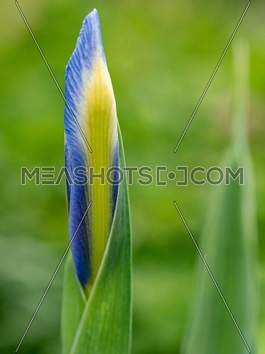 Close-up abstract image of purple iris flower(Iris douglasiana). Spring macro outdoor