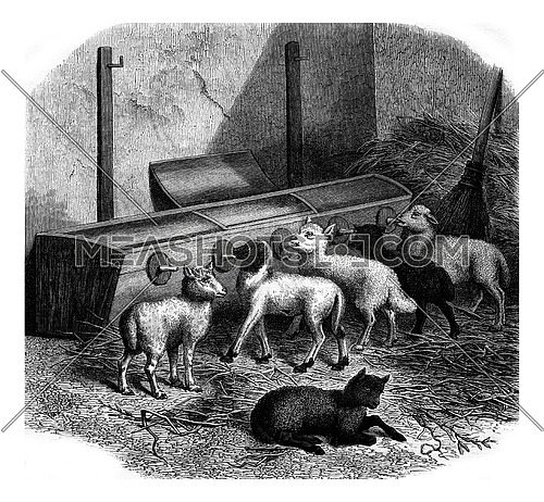 Feeding bottles for lambs, vintage engraved illustration. Magasin Pittoresque 1880.