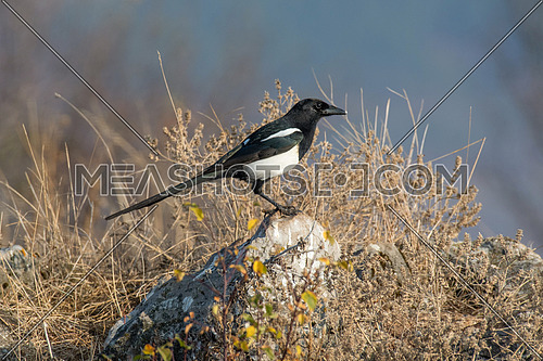 Eurasian magpie (pica pica) Nature and wild bird image