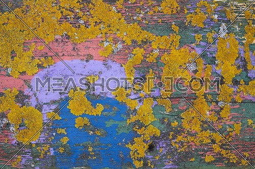 Colorful yellow lichen growing on painted green and blue old weathered wood with peeling paint in a close up full frame background texture