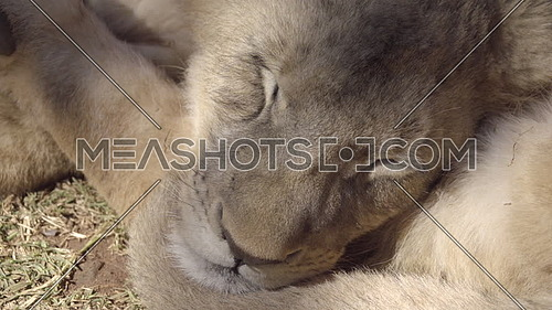Scene of two lion cubs sleeping in shade