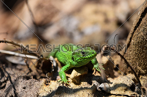 Dragons are back - green lizard stalking among stones, fallen leaves and twigs (front view)