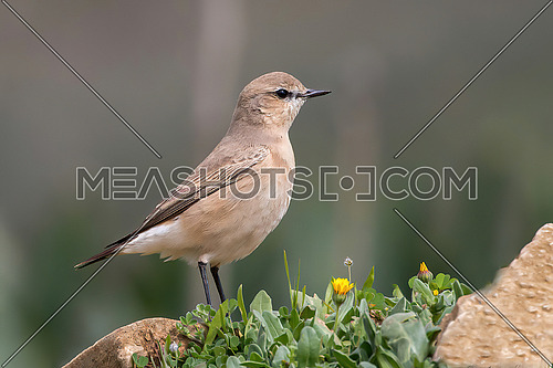 Wheatear (lat. Oenantne Isabelina) stands on a stone