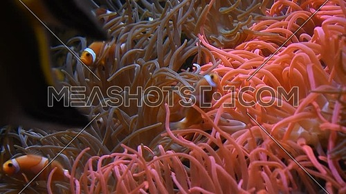 Close up vivid orange color clownfish or anemonefishes swimming underwater among coral pink sea anemone tentacles in water of aquarium, low angle view