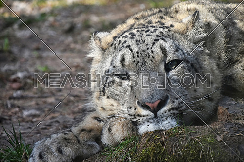 Close up portrait of young female snow leopard (or ounce, Panthera uncia) resting on the ground and looking at camera, low angle view