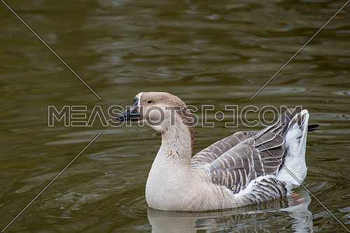The Chinese goose is a domesticated goose descended from the wild swan goose