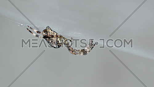 Side view of a spider on its cobweb against a bright gray background