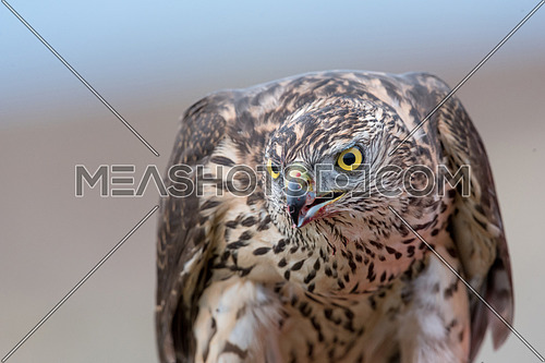 Portrait of Falcon with a bloody beak. Bird of prey.Selective focus